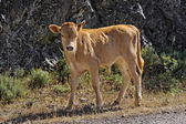 Young calf near Belgodere, N197 (Nebbio region), Corsica, France — Stock Photo