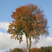 Albero a foglie decidue in autunno, bassa sassonia, germania — Foto Stock