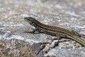 Padarcis tiliguerta, Tyrrhenian Wall Lizard — Fotografia Stock