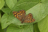 Pararge aegeria, Speckled Wood Butterfly — Stock Photo