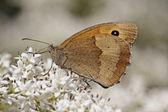 Maniola jurtina, Meadow Brown butterfly (female) — Stock Photo