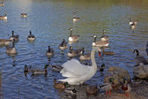 Canada goose, Branta canadensis and Mute Swan (Cygnus olor) at a pond in Germany, Europe — Stock Photo
