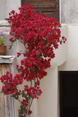 House wall in St-Florent (Saint-Florent) with Bougainvillea glabra, Corsica, France, Europe — Stock Photo