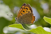 Lycaena phlaeas, Small Copper, American Copper, Common Copper, european butterfly from France, Southern Europe — Stock Photo