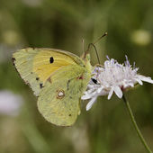 Colias crocea, Dark Clouded Yellow, Common Clouded Yellow butterfly from France, Southern Europe — Stock Photo