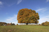 Horse chestnut tree (Aesculus hippocastanum) Conker tree in autumn, Lengerich, North Rhine-Westphalia, Germany, Europe — Stock Photo