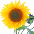 Single sunflower with leaves Single sunflower with leaves — 图库照片