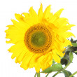 Large yellow sunflower Large yellow sunflower — Stock Photo