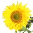 Stock Photo: Large yellow sunflower Large yellow sunflower