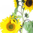 Stock Photo: Isolated sunflower plant
