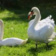 Stock Photo: White swans on green grass