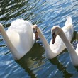 White swans swimming on lake White swans swimming on lake - Stock Photo