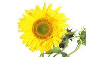 Large yellow sunflower Large yellow sunflower — Stock Photo