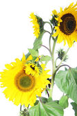 Isolated sunflower plant — Stock Photo