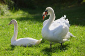 White swans on green grass — Stock Photo