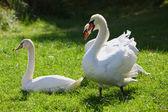 在绿色草地上的白色天鹅 — 图库照片