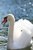 Graceful swan with wings raised — Stock Photo