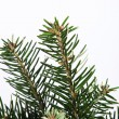 Isolated fir branch on white — ストック写真