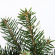 Isolated fir branch on white — Stock Photo
