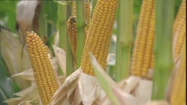 Ripe yellow corn cobs for harvesting — Stock Video