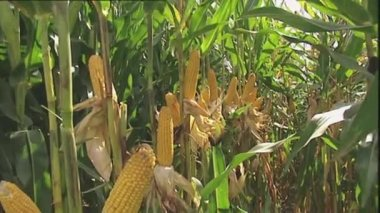 View of a corn crop ready for harvesting — Stock Video