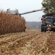 Stock Video: Thresher harvesting maize for silage