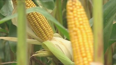 Fresh corn cobs on the plant — Stock Video