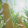 Maize crop with sun flare - Stock Photo