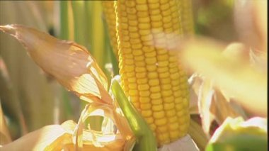 Ripe corn on the cob — Stock Video