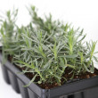 Nursery tray of young plant seedlings — Stock Photo
