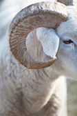 Closeup of the horn of a sheep — Stock Photo