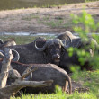 Herd of Cape buffalo, Syncerus caffer — Stock Photo