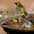 Wild birds splashing in a bird bath — Stock Photo