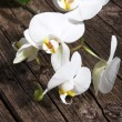 Spray of white phalaenopsis orchids — Stock Photo