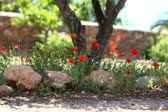Garden path with poppies — Stock Photo