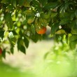 Orange tree — Photo