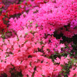 Spectacular pink azalea bush in flower — Stock Photo