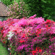 Magnificent display of azaleas in a garden — Stock Photo #28588861