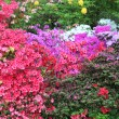 Vibrant display of purple, white and red azaleas — Stock Photo