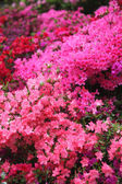 Spectacular pink azalea bush in flower — Stockfoto