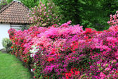 Magnificent display of azaleas in a garden — Stock Photo