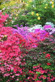 Vibrant display of purple, white and red azaleas — Стоковое фото