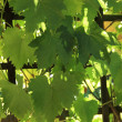 Grapevine growing on a trellis — Stock Photo