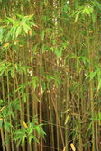 Stand of ornamental bamboo — Foto de Stock