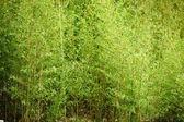 Stativ av färska unga bambu — Stockfoto
