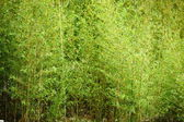 站在新鲜的幼竹 — 图库照片