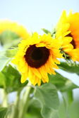 Sunflowers growing in a field — Stock Photo