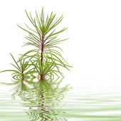 Pine branch reflected in water — Stock Photo