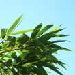 Fresh green leaves against a blue sky — Stock Photo