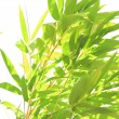 Backlit fresh green leaves — Stock Photo